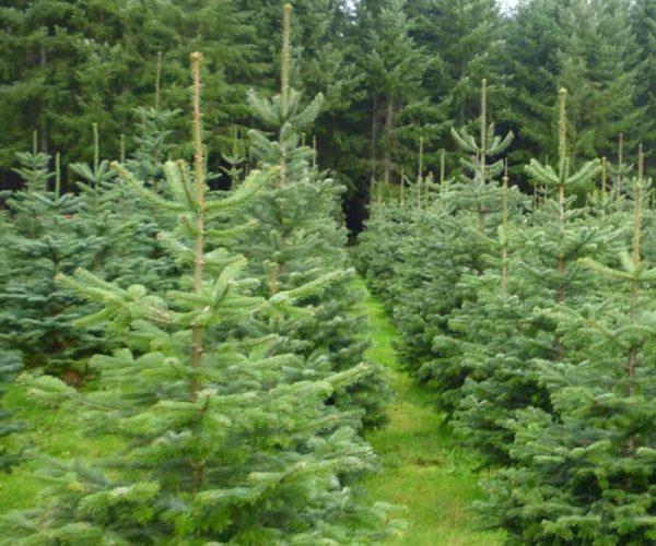 Christmas-tree-Portfolio